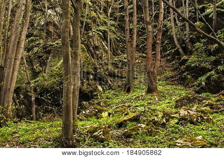 Dank deep mountain forest in springtime sunless day as natural background