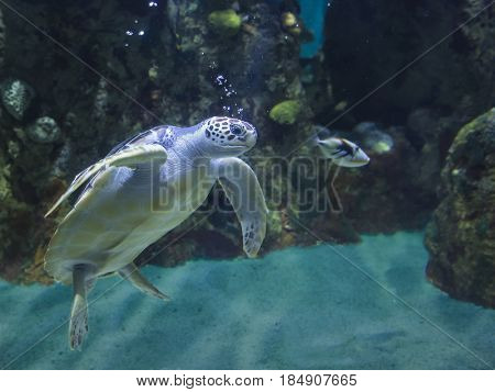 Underwater shot of green sea turtle breathing bubbles