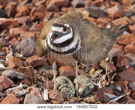 Killdeer defending its nest with four eggs on rocks