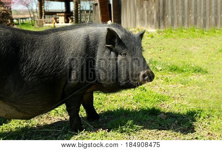 Cute pig in enclosure on farm