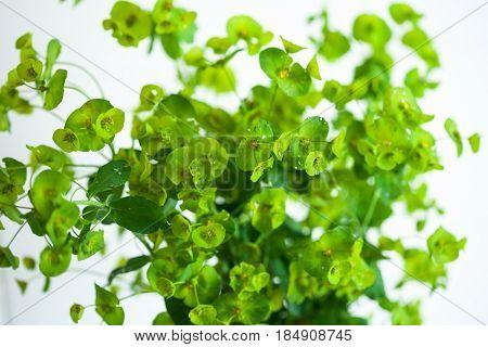 Green Euphorbia cyparissias Euphorbiaceae cypress spurge on white backgroud
