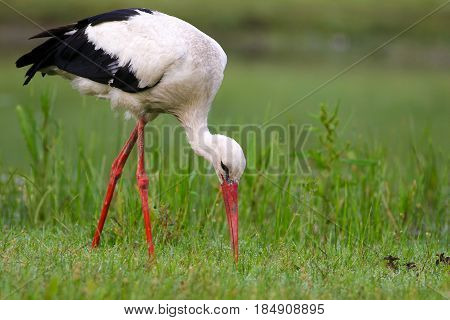 White stork Ciconia ciconia hunt on the meadow