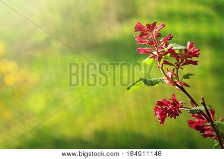 The blossoming currant blood-red .Blood currant flowers isolated on green background.