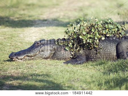 Alligator resting with some water plants on its back after coming out of swamp