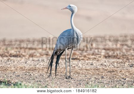 The Blue Crane Grus paradisea is an endangered bird specie endemic to Southern Africa. It is the national bird of South Africa