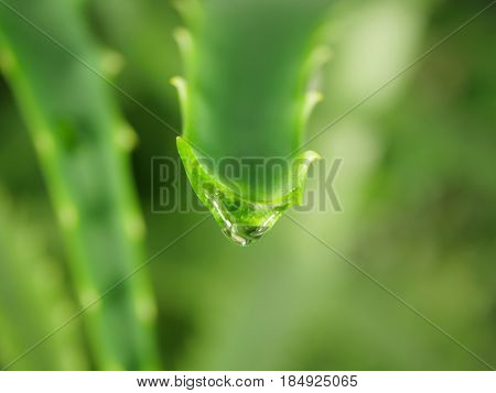 green aloe leaf with dripping clear juice