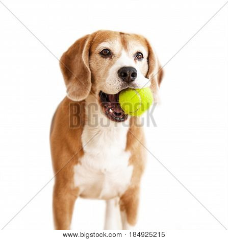 Playful beagle dog with tennis ball portrait isolated on white