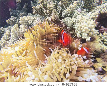 Coral fish in pale actinia digital illustration. Orange clownfish in yellow actinia. Cute clown fish underwater. Marine animal and plant. Coral reef ecosystem with exotic animal. Clownfish in nature