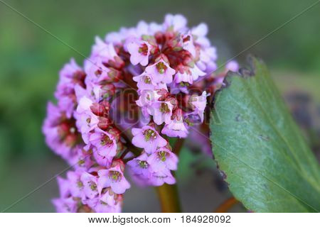 Pink and white Milkweed flower in the meadow