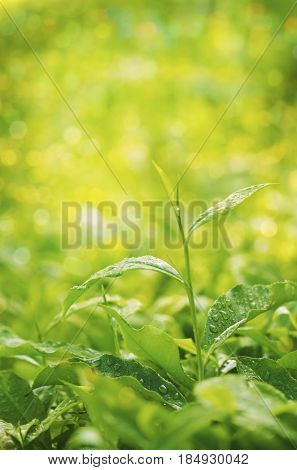 Close up tea plant with bokeh sunlight and copy space.