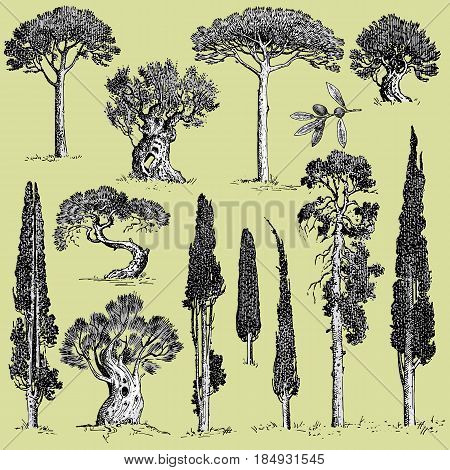 big set of engraved, hand drawn trees include pine, olive and cypress, fir tree forest isolated object.