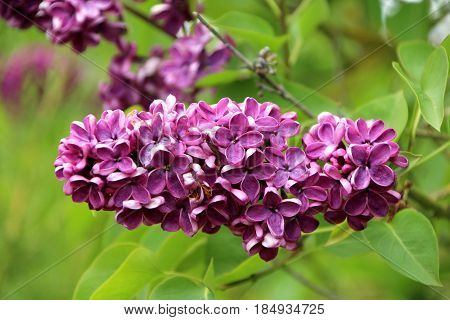 close up on a beautiful flower of lilac