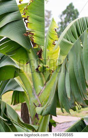 Abstract banana tree in the outdoor. Broken leaf of banana tree.