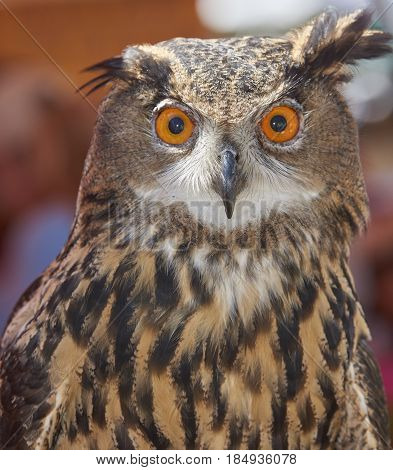 Asian Eagle Owl on display at Burrowing Owl Festival in Cape Coral Florida
