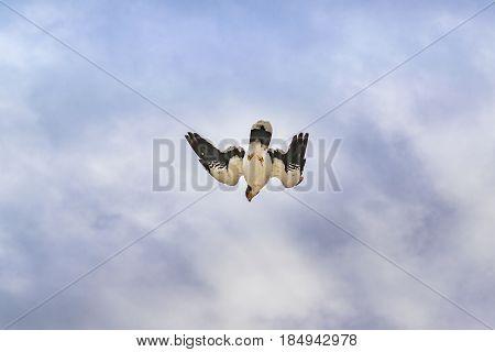 Austral Patagonian Bird Flying