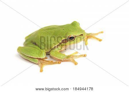 Tree frog (Hyla arborea) , on a white background