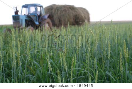 The Field Of Wheat And Tractor Which Carries A Crop