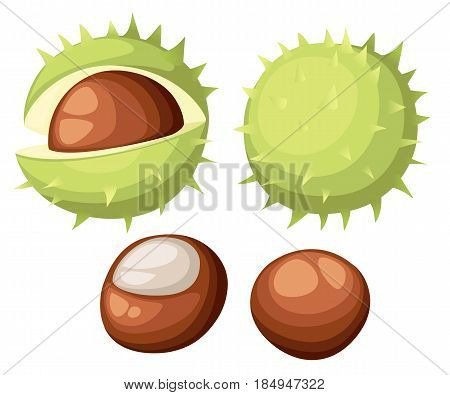 Chesnut Peeled And Whole Horse Chestnuts, Vector Illustration Isolated On White Background. Drawing