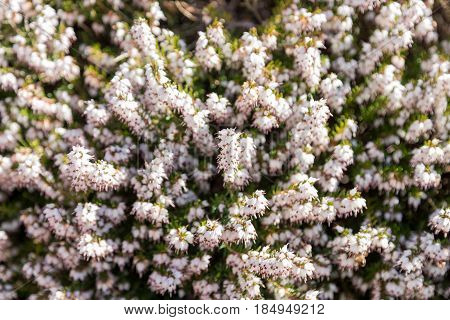 Texture Of A Bush Of White Pink Flowers And Green Leaves