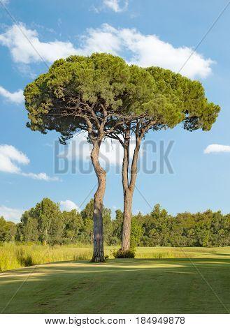 Two big pine trees in a golf course in Belek Antalya Turkey