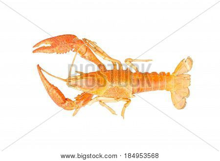 The remains of the crayfish molt isolated on white background