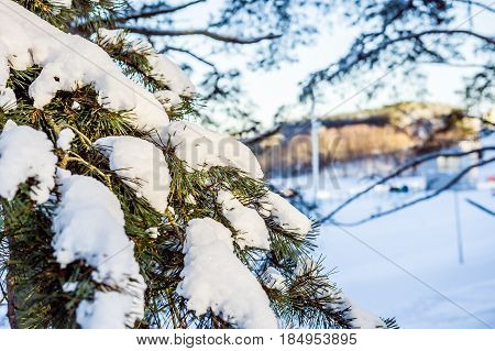 Pine branch with snow on a sunny day.