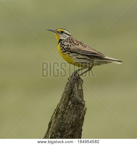 An Eastern Meadowlark  (Sturnella magna) perches on a fence post in spring in Sharpsburg, Maryland, America.