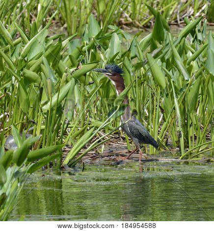 A Green Heron  (Butorides virescens) , with crest extended, standing among water plants in Carroll County Maryland, USA.