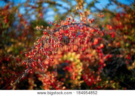 Barberry Bush, Colorful Floral Red Background. Barberry Berries On Bush In Autumn Season, Shallow Fo