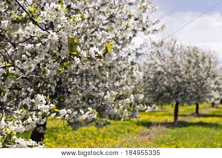 The cherry tree orchard in bloom in springtime