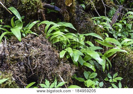 The leaves of wild garlic in the spring forest are many near glade