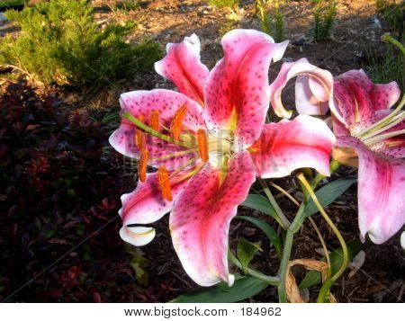 Lily From Side