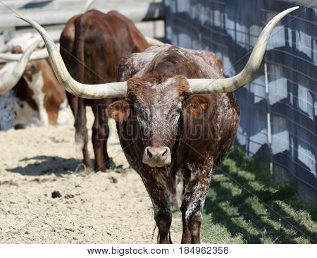 A Close Up Portrait of a Texas Longhorn Steer