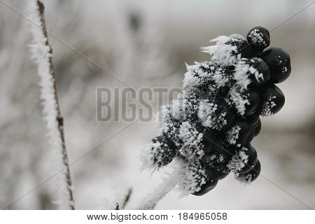 twigs grass and black berries privet in the winter in hoarfrost