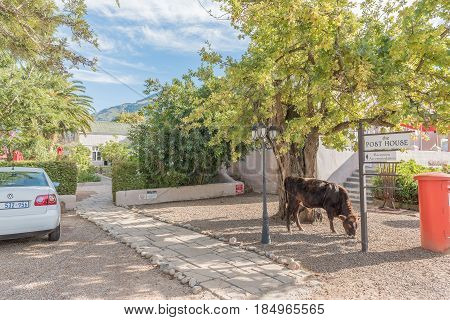 GREYTON SOUTH AFRICA - MARCH 27 2017: A cow grazing next to the main street of Greyton a small town in the Western Cape Province of South Africa