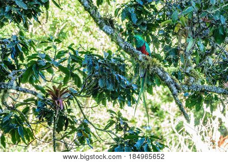 Front view of beautiful bird in tropic habitat over tree branch. Quetzal with bug in beak, Pharomachrus mocinno in Costa Rica