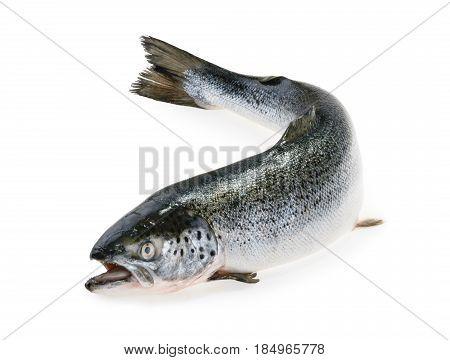 Salmon fish isolated on white background. close up
