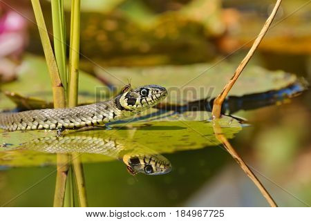 Grass Snake (Natrix natrix) on the leaves of Water Lilies and an insect on the head