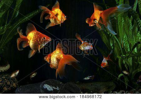Goldfish aquarium a fish on the background of aquatic plants poster