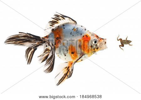 Goldfish big fish hunting for a small frog on white background
