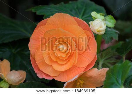 Closeup of Hybrid Begonia tuberhybrida flower in salmon pale orange color grown in Tasmania, Australia