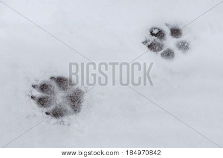Dog tracks in the new fresh snow