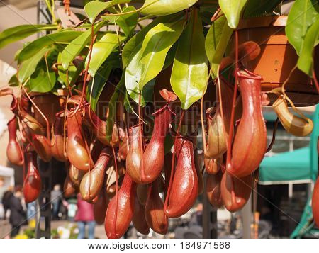Carnivorous plants for sale at the flower market
