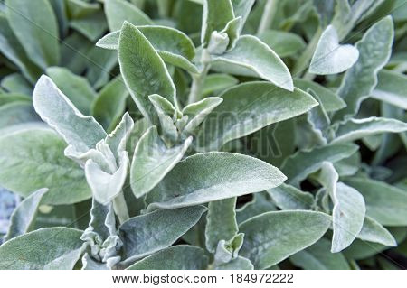 Full Frame Close-up Stachys Byzantina (lamb's Ears Or Woolly Hedgenettle) Ornamental Plant Grow In H