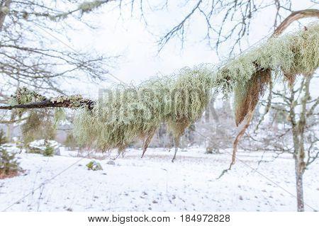 Fishbone beard lichen is sensitive to air pollution