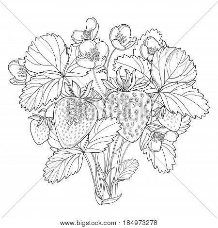 Vector bush with outline Strawberry with berry, flower and leaves in black isolated on white background. Fruit elements with strawberry in contour style for eco summer design and coloring book.