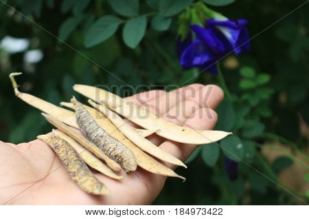 butterfly pea seed on hand with butterfly pea tree in background