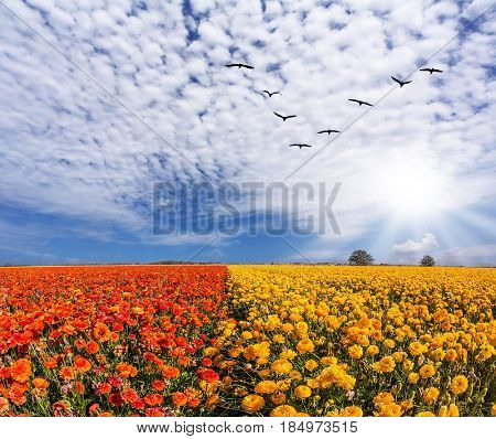 Migratory birds flying high in the cirrus clouds. The southern sun illuminates the flower fields. Concept of rural tourism