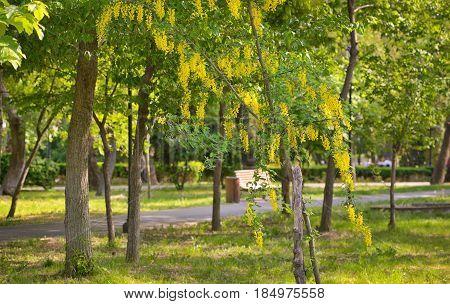 Yellow Golden shower Cassia fistula flower, in spring time