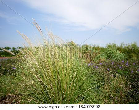 Clump of grass on a field with background of sky.